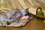 招き猫の昼寝